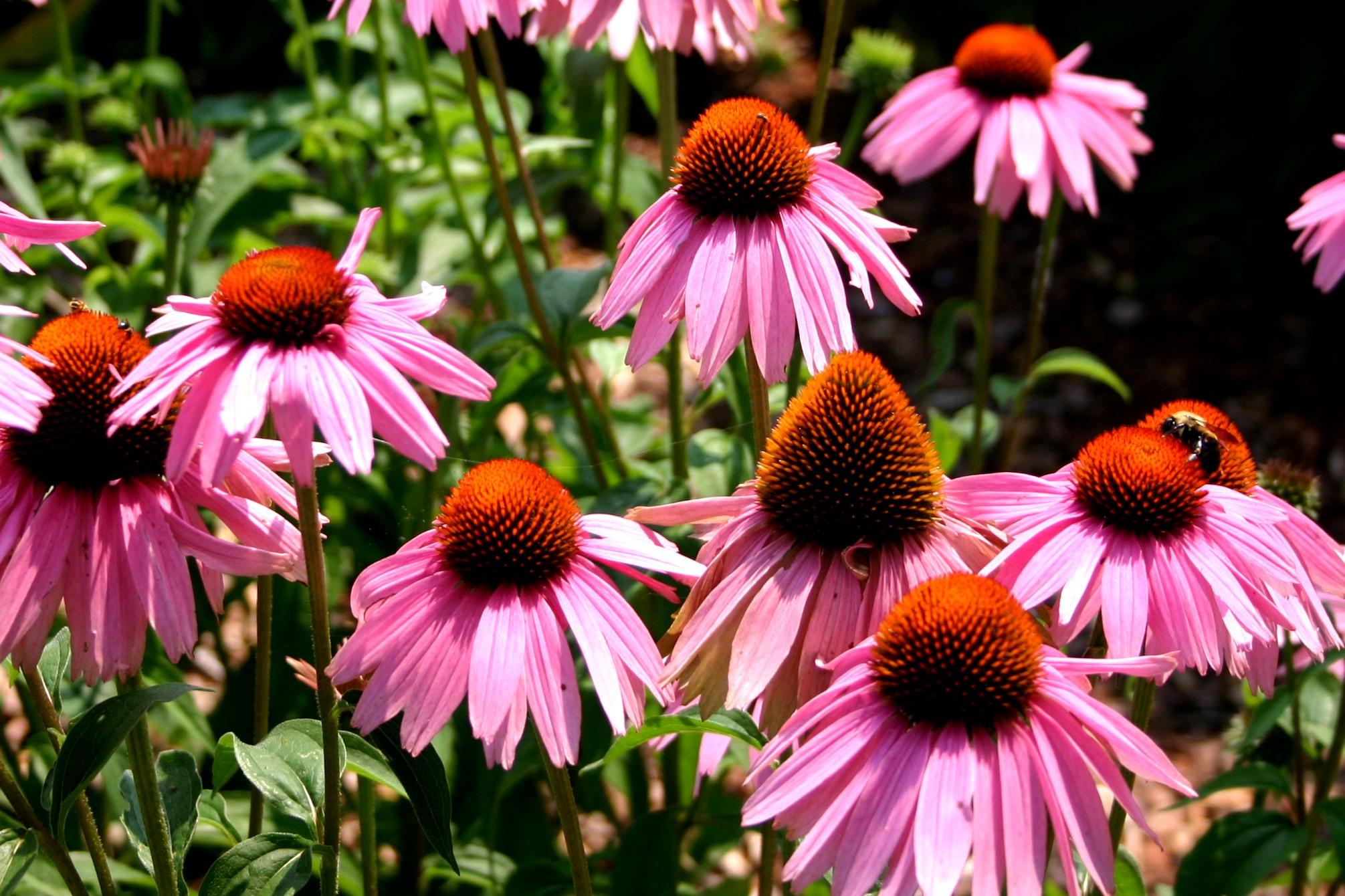 Jeżówka purpurowa Magnus - wieloletnia roślina ogrodowa o różowych kwiatach