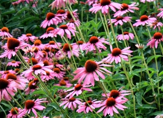 Jeżówka Prairie Splendor Rose Compakt - bylina niska o różowych kwiatach
