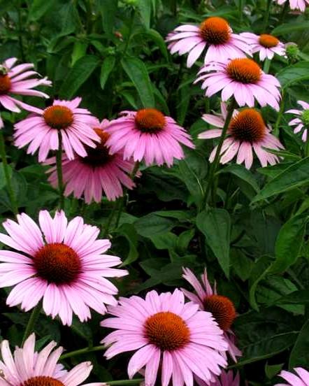 Jeżówka Prairie Splendor Rose Compact - wieloletnia roślina kwitnąca stanowisk słonecznych