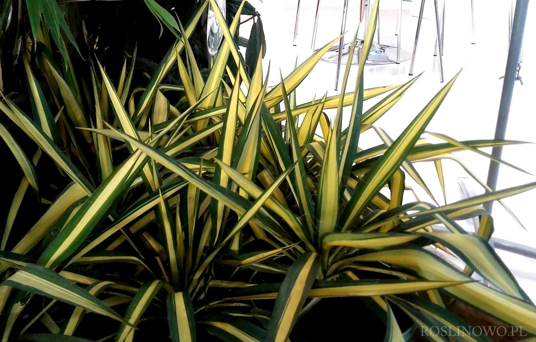 Juka karolińska Color Guard Yucca filamentosa 1
