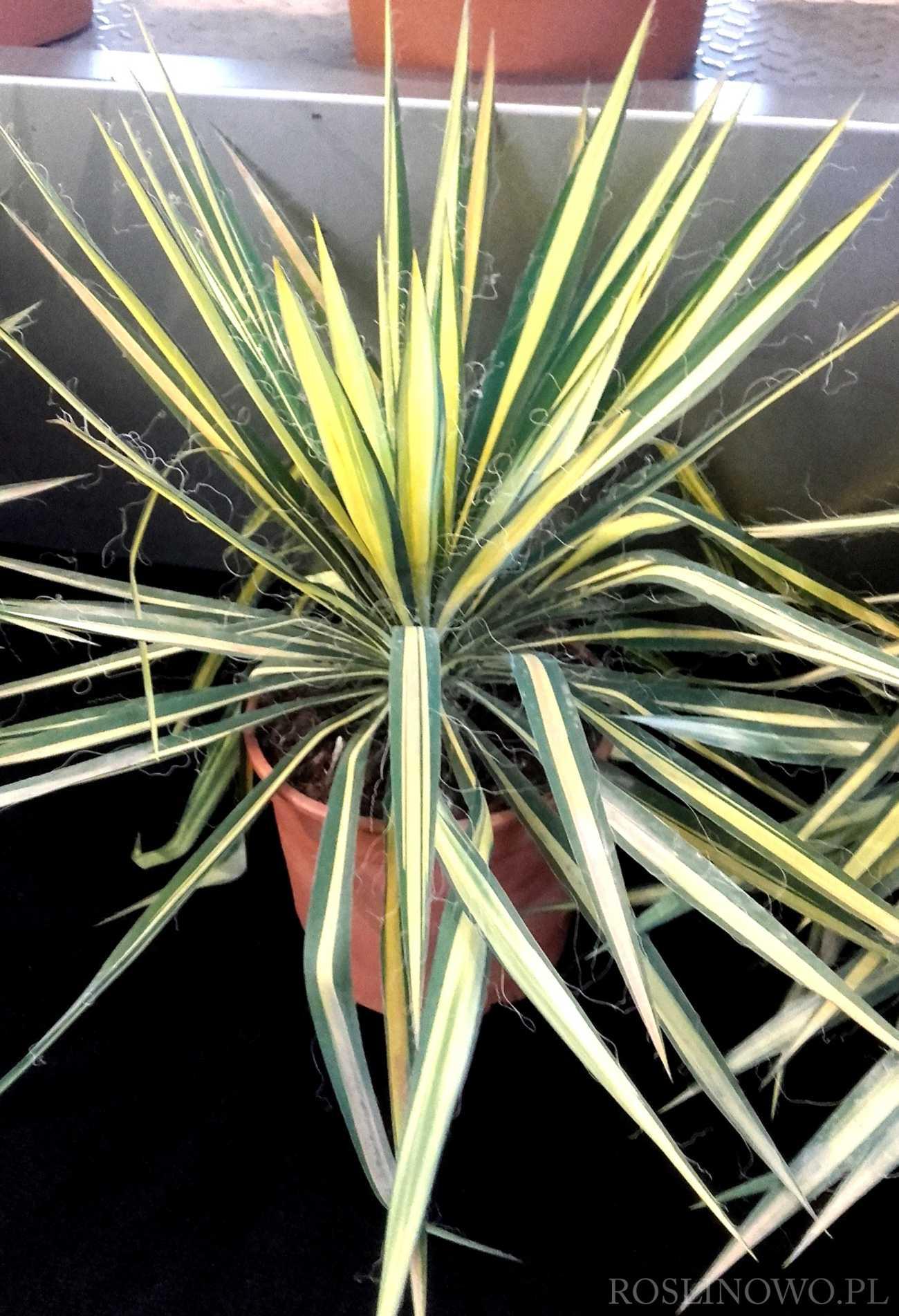 Juka karolińska Color Guard Yucca filamentosa 3