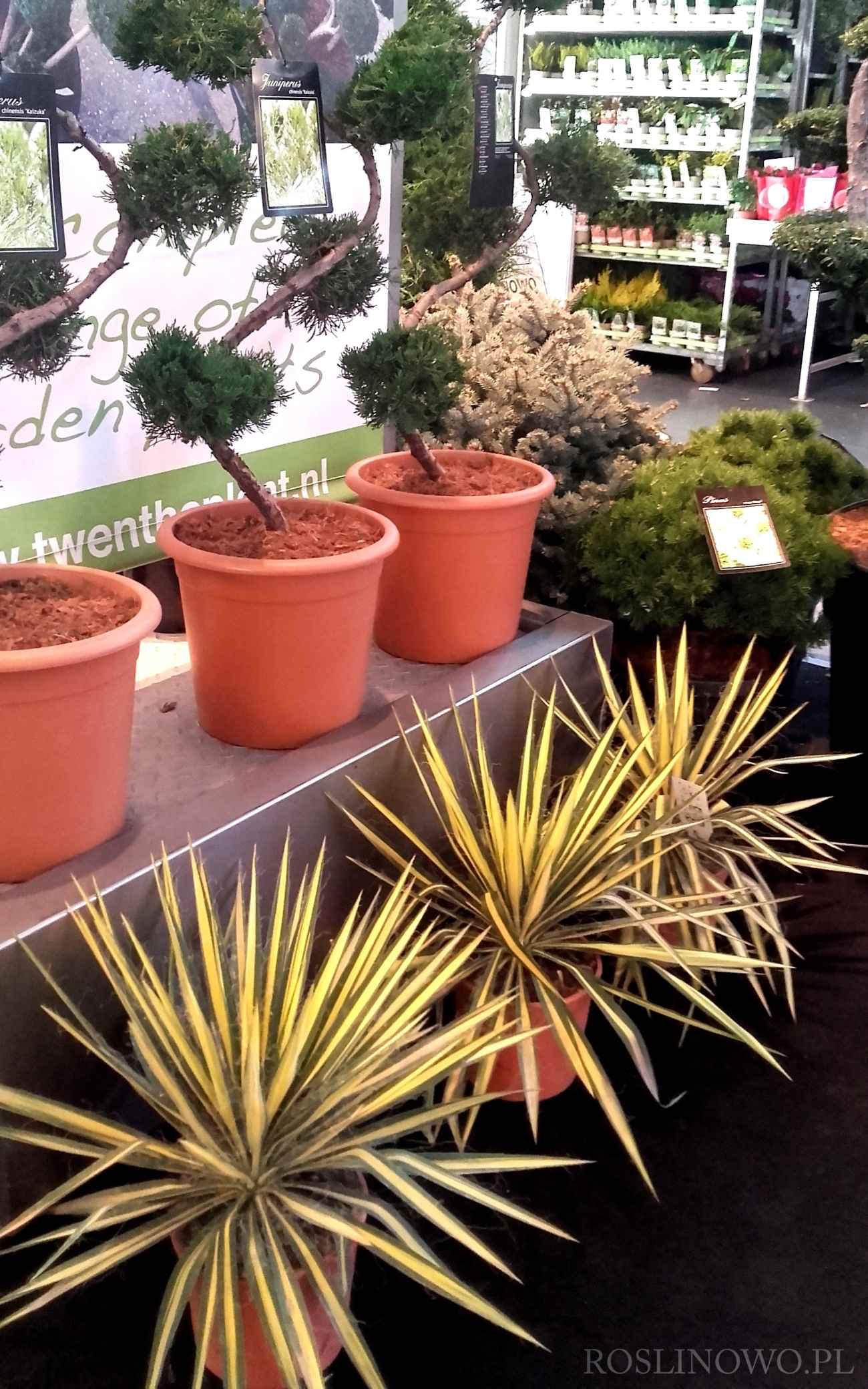 Juka karolińska Color Guard Yucca filamentosa 4