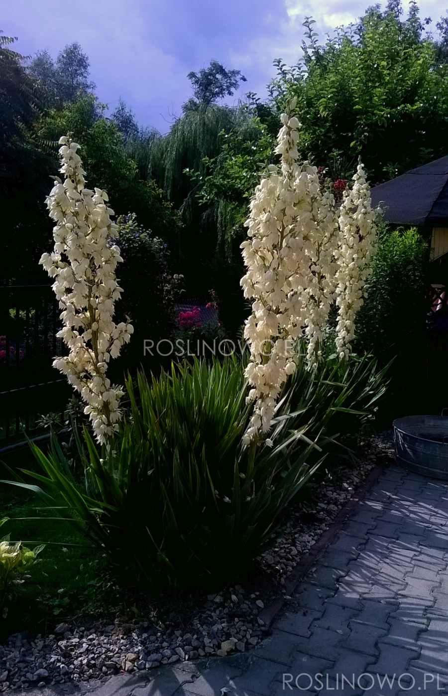 juka karolińska - roślina tropikalna na rabtay słoneczne i skalne