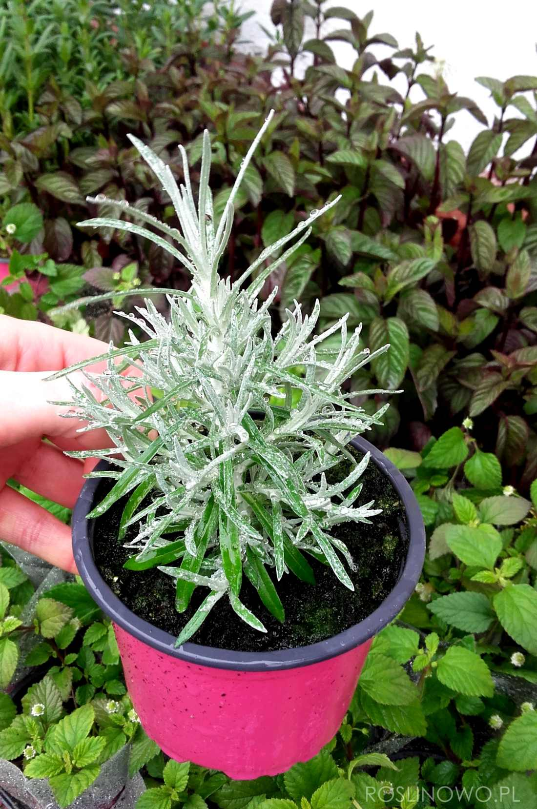 kocanki włoskie - bylina zielna do ogrodów i pojemników
