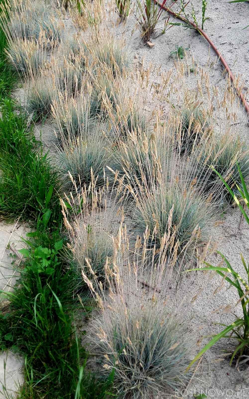 kostrzewa sina blue select - zimozielona bylina