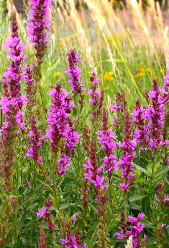 Krwawnica pospolita- wieloletnia roślina ogrodowa o fioletowych kwiatach