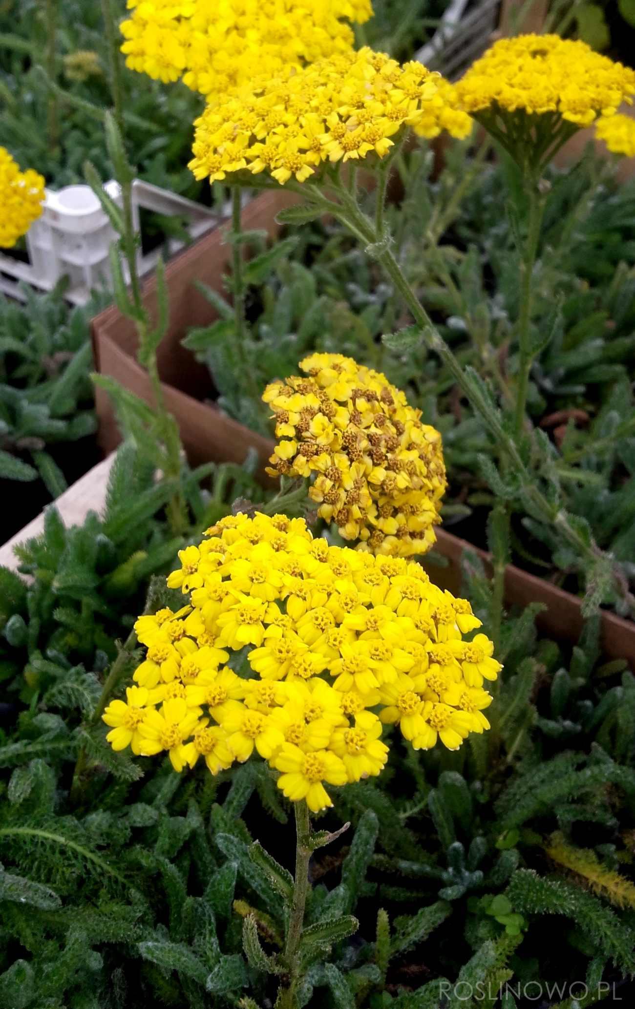 Krwawnik kutnerowaty 'Aurea', niska bylina wieloletnia na skalniaki i rabaty słoneczne