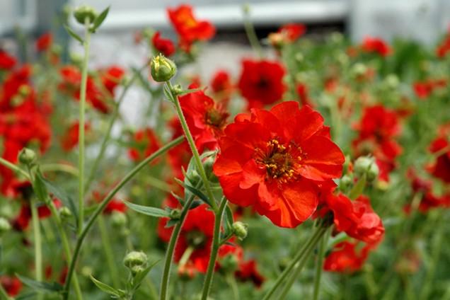 kuklik chilijski - kwitnąca bylina na rabaty
