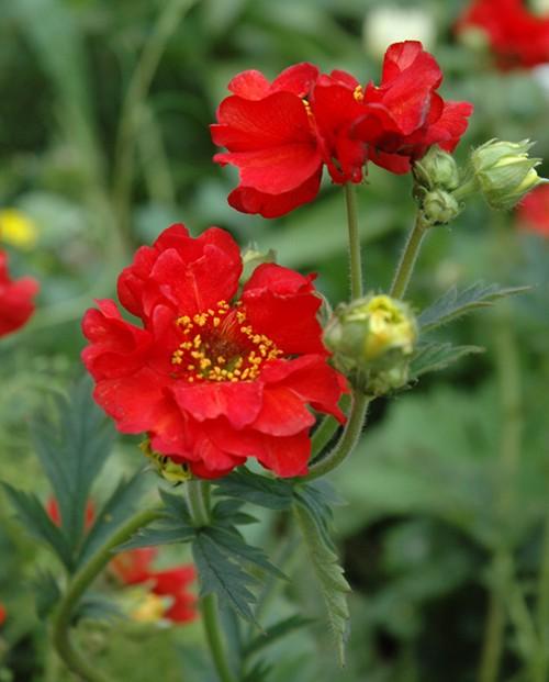 kuklik chilijski - bylina wieloletnia o czerwonych kwiatach