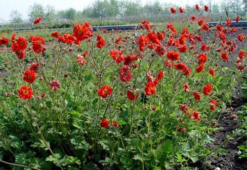 kuklik chilijski - kwitnąca roślina ozdobna na stanowiska słoneczne
