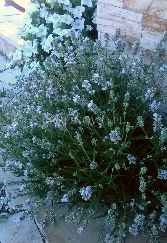 lawenda wąskolistna edelweiss - wieloletnia roślina ogrodowa o białych pachnących kwiatach