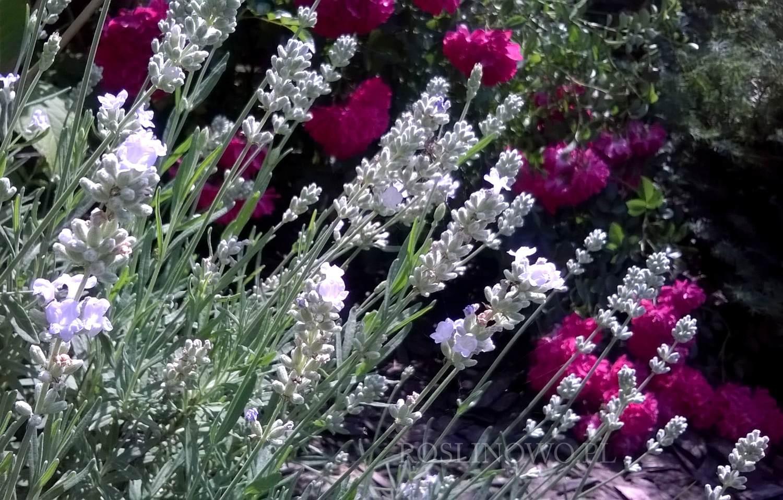 lawenda edelweiss - bylina kwitnąca do słońca o małych wymaganiach