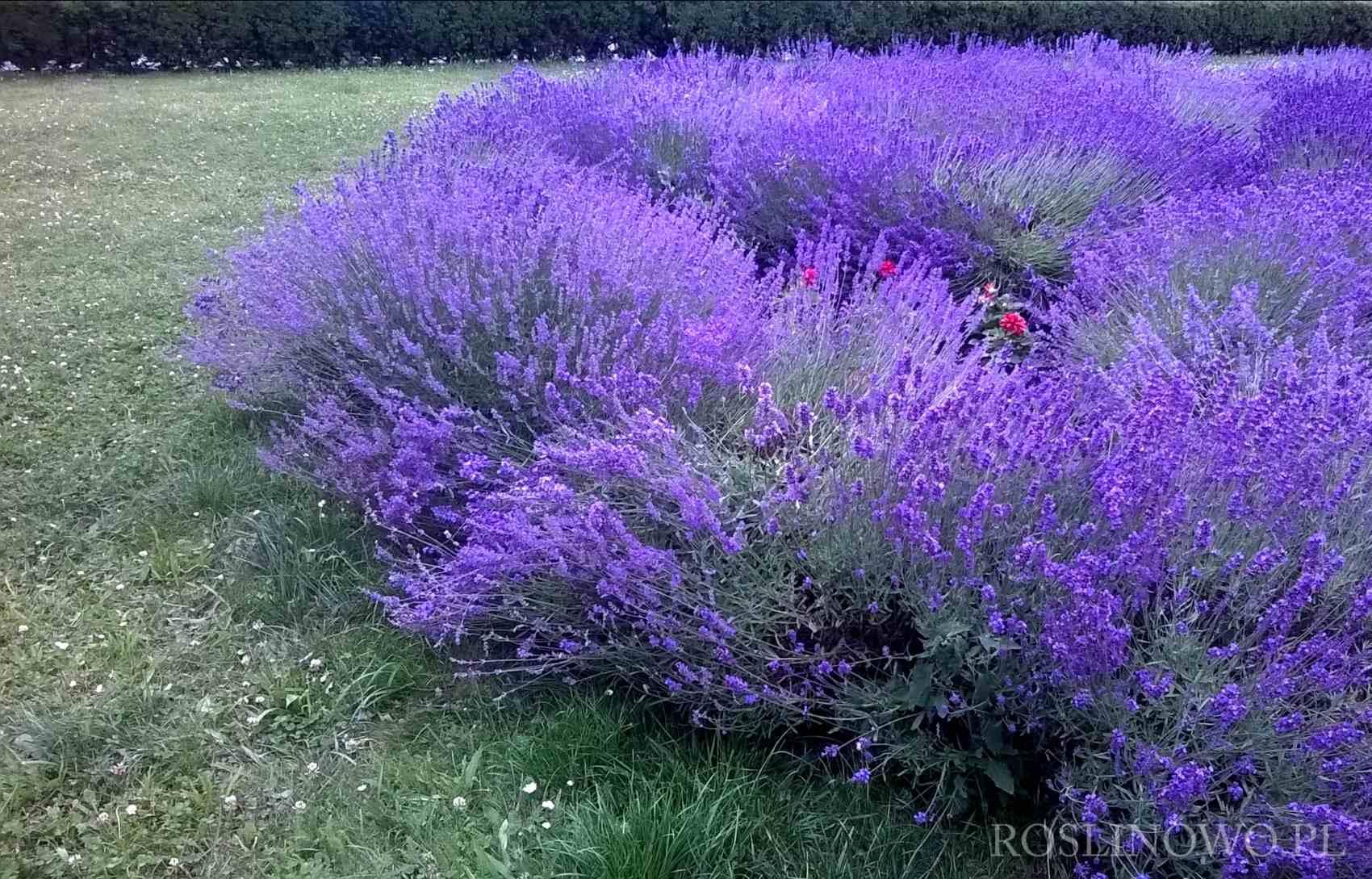 Lawenda ogrodowa Lavandula vera 1