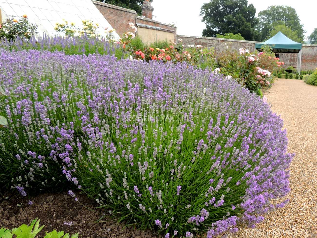 lawenda pośrednia phenomenal pure platinum - wieloletnia bylina ozdobna o pachnących licznych fioletowych kwiatach