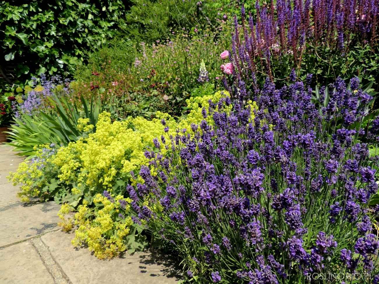 lawenda phenomenal - ogrodowa bylina na stanowiska gorące, suche i słoneczne