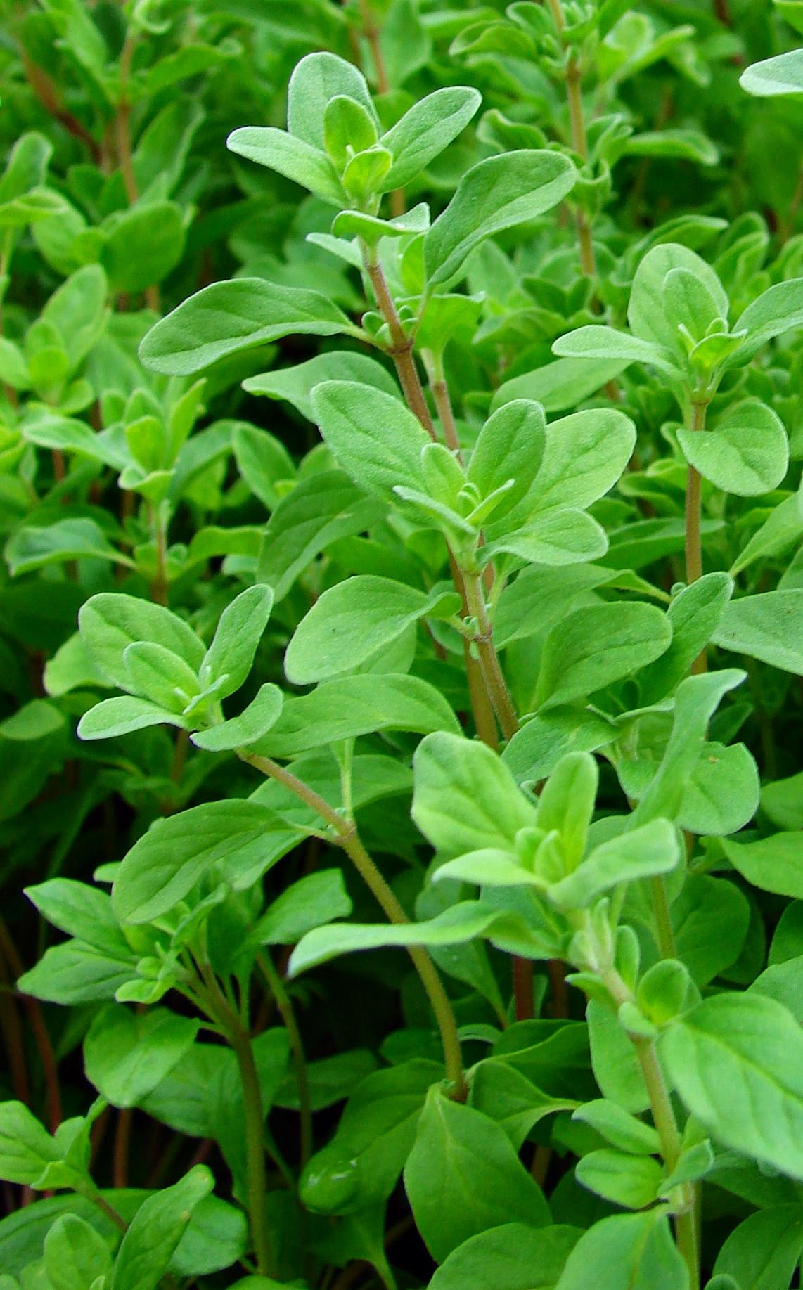 majeranek - jednoroczna roślina zielna o właściwościach leczniczych