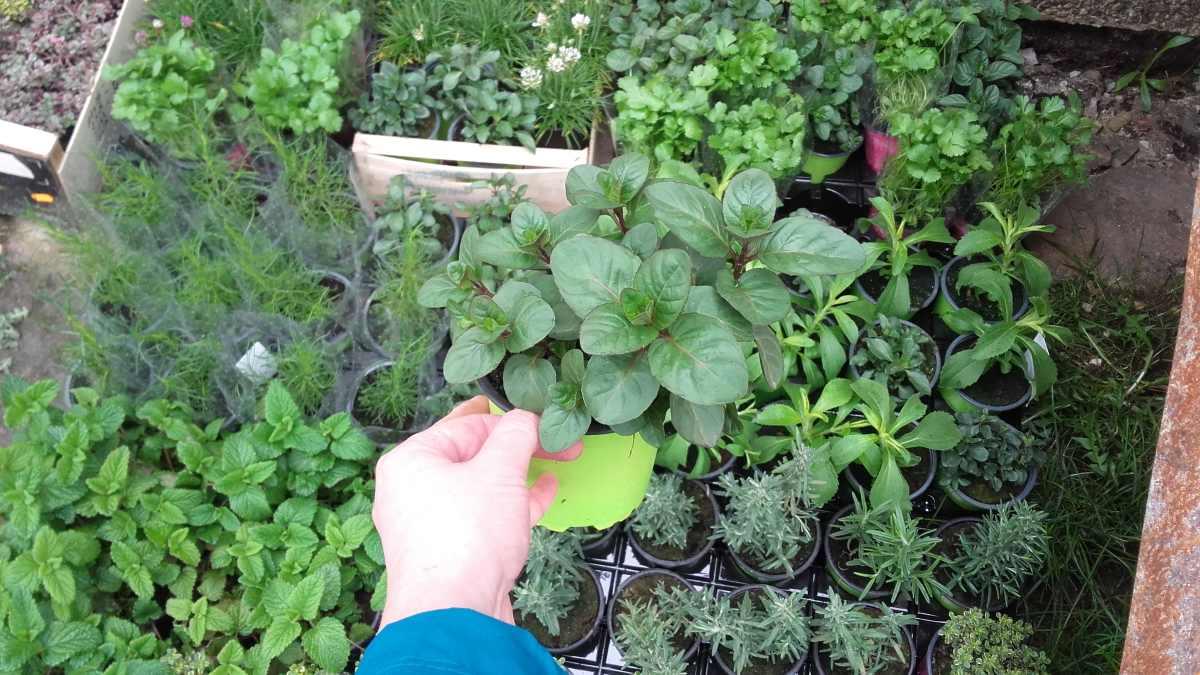 mięta pomarańczowa - wieloletnia roślina ziołowa o smaku pomarańczy