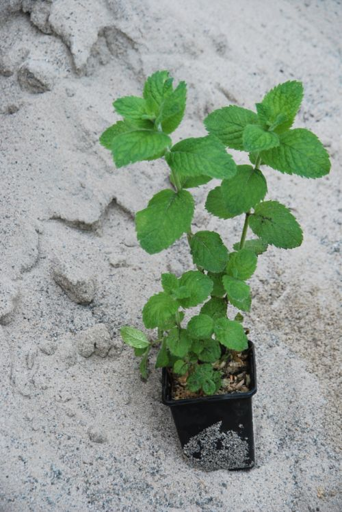 mięta kosmata - bylina o zielonych mechatych liściach