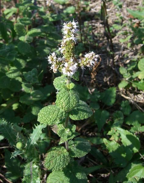 mięta kosmata - wieloletnia bylina o jadalnych liściach