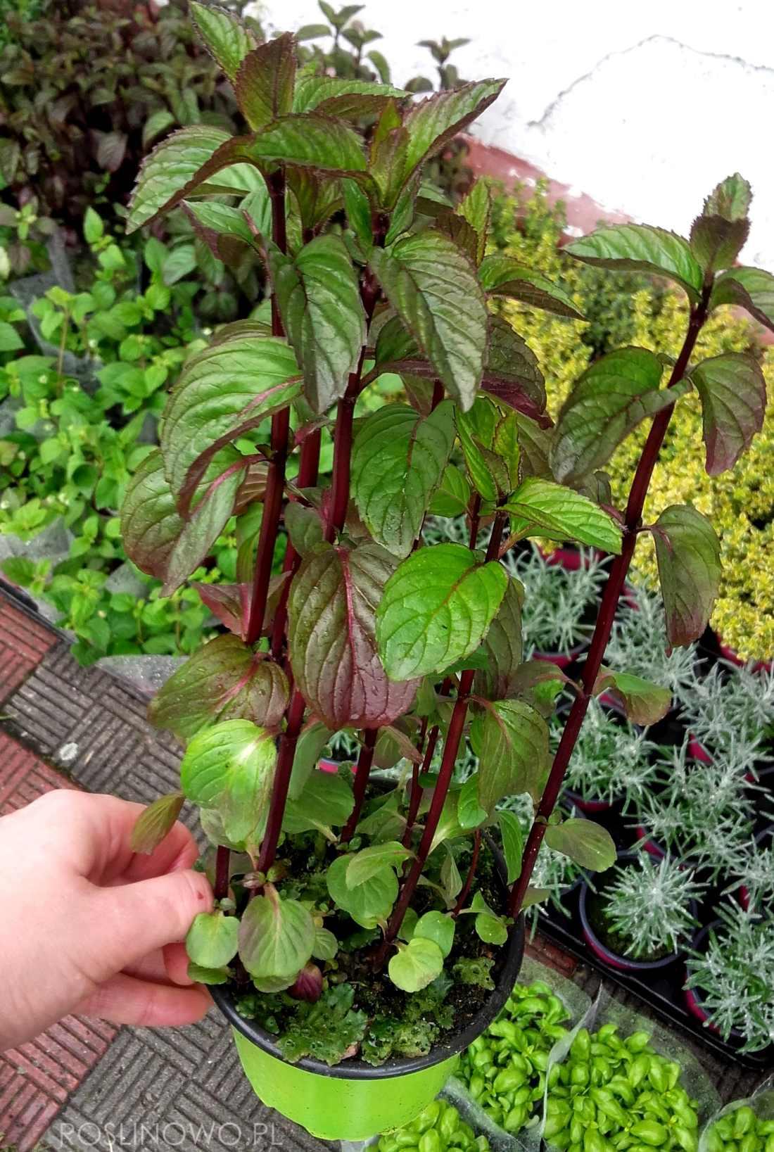 mięta lawendowa - bylina zielna o właściwościach zdrowotnych