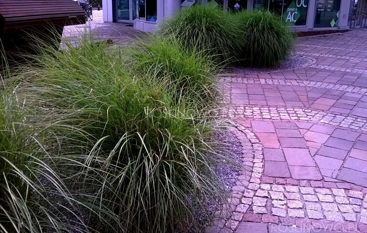 miskant chiński adagio - długowieczna trawa ozdobna o małych wymaganiach na stanowiska słoneczne