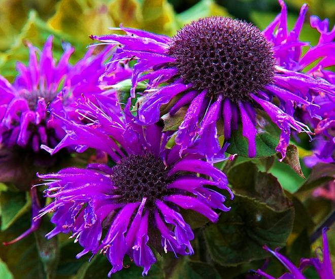 monarda bee-free - wonderful perrenial of purple flowers