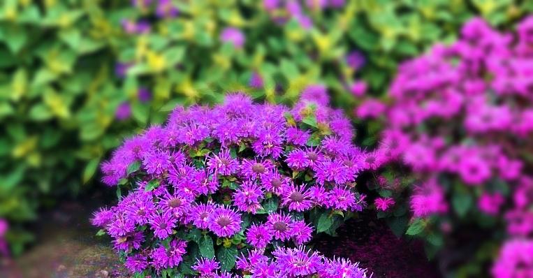 pysznogłówka bee-free - wieloletnia bylina o karłowym wzroście i bujnym kwitnieniu