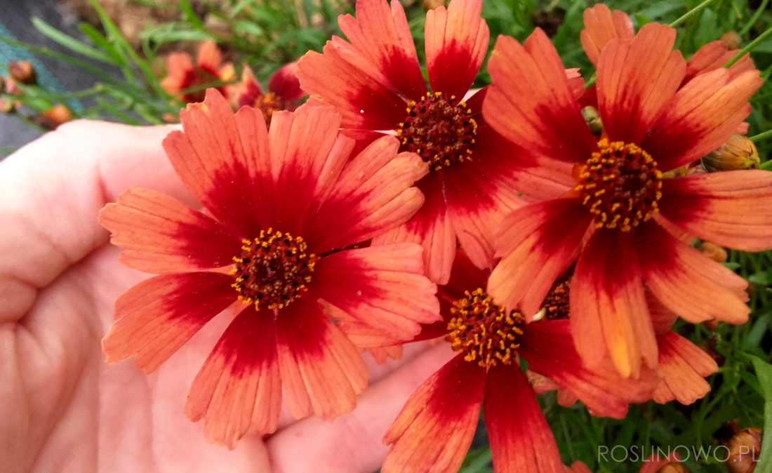 kwiaty nachyłka Desert Coral