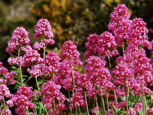 Ostrogowiec Rosenrot - wieloletnia bylina różowa
