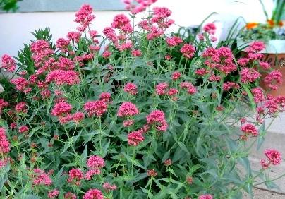 Ostrogowiec Rosenrot - wieloletnia roślina ogrodowa
