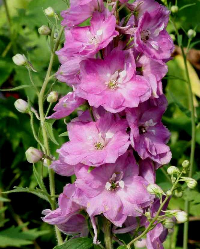 Ostróżka Pacific Astolat - bylina ogrodowa o różowych kwiatach