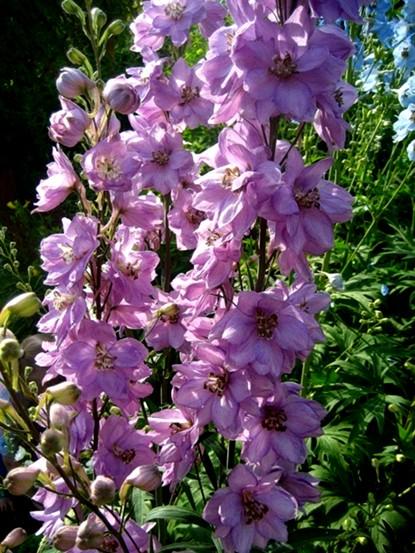 Ostróżka Astolat - wieloletnia roślina o pięknych długo kwitnących kwiatach