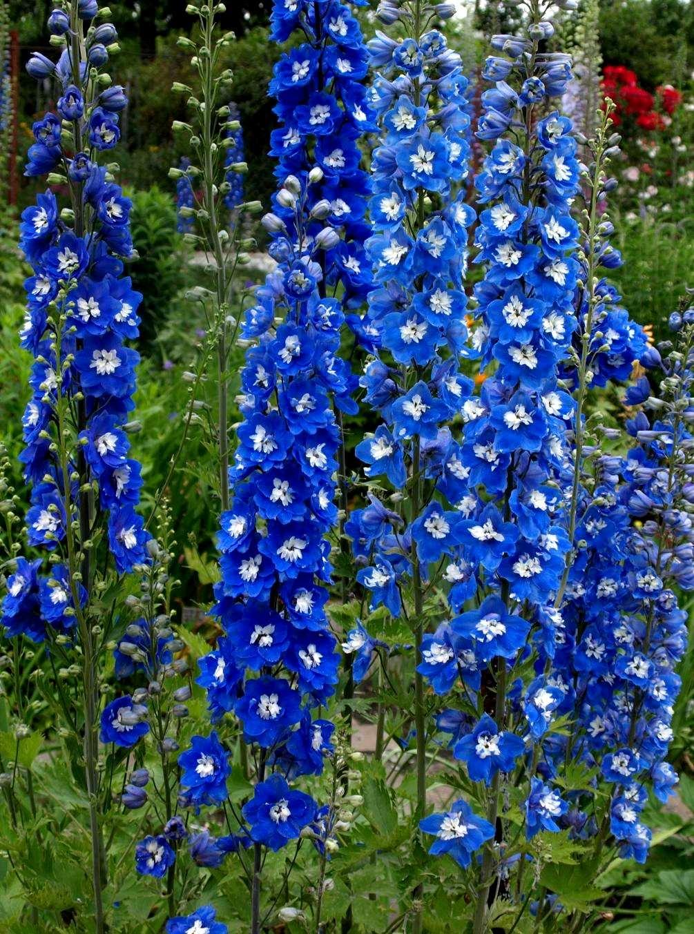 Ostróżka Pacific Blue Bird - wieloletnia roślina ogrodowa o niebieskich kwiatach