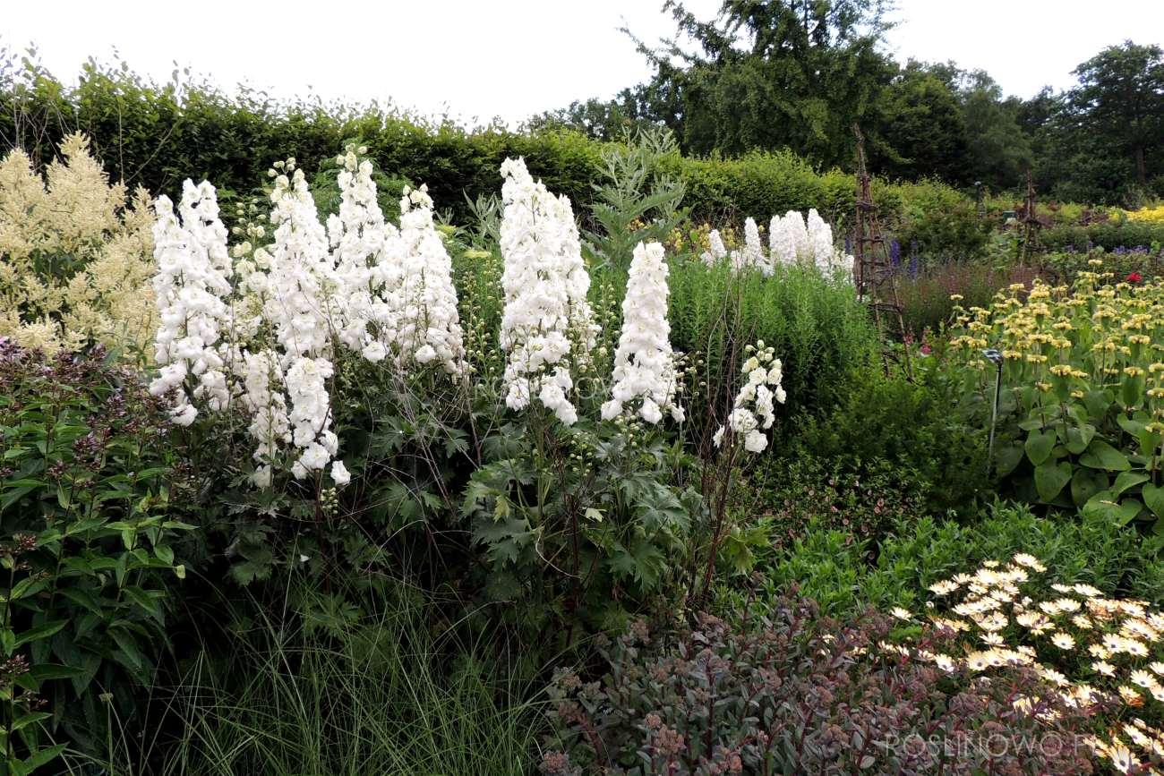 Ostróżka Galahad - bylina kwitnąca na stanowiska słoneczne i wilgotne