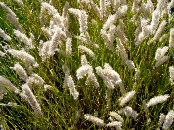 perłówka orzęsiona - trawa wieloletnia o perłówych kwiatostanach