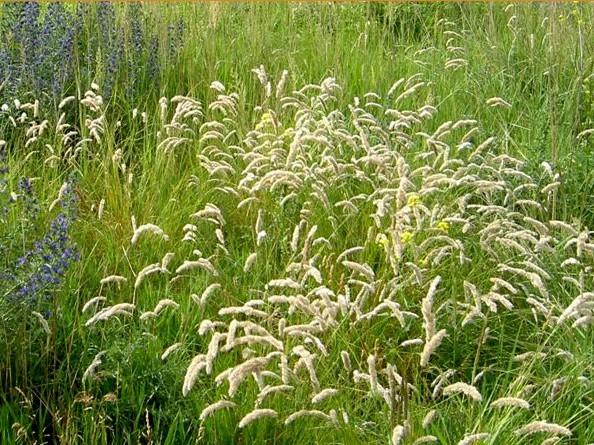 perłówka orzęsiona - bylina trawiasta na stanowiska słoneczne i suche