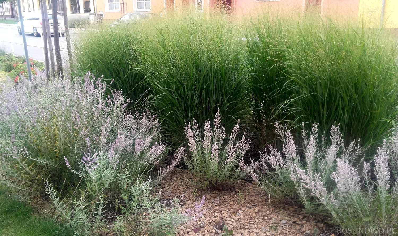 perowskia łobodolistna w towarzystwie traw ogrodowych