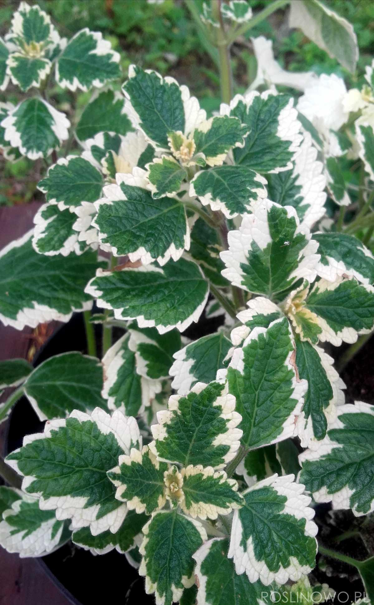 Dekoracyjne liście komarzycy - plaktrantus koleusowaty
