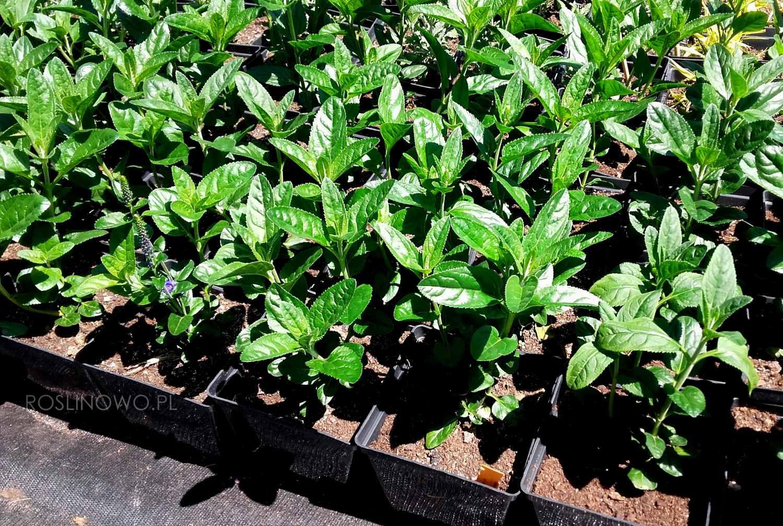 Sadzonki przetacznika długolistnego 'Marietta' (Veronica longifolia)