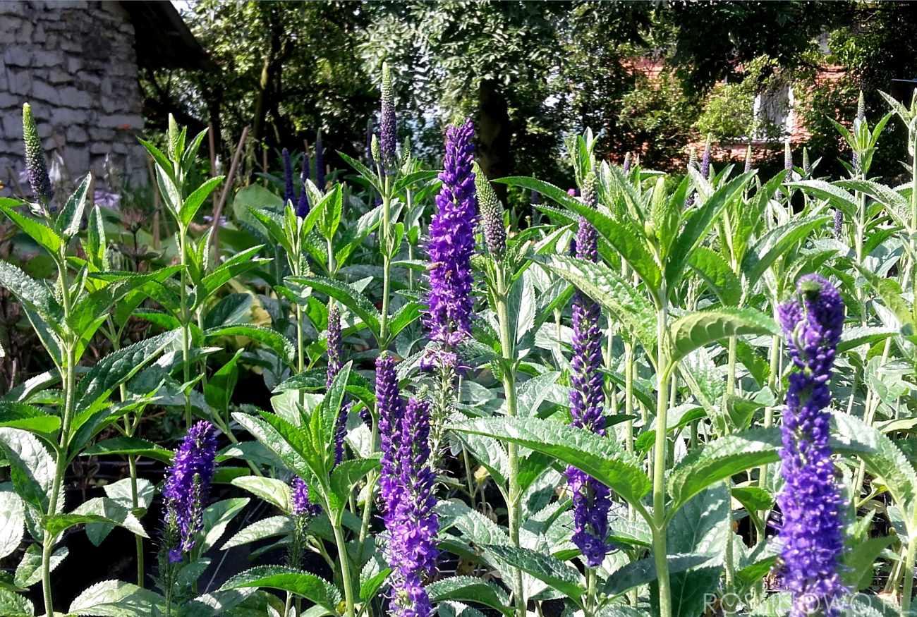 Przetacznik długolistny Marietta najlepiej prezentuje się sadzony w grupach