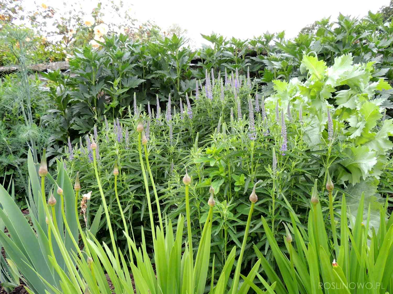 Przetacznikowiec Red Arrows - bylina o pachnących kwiatach