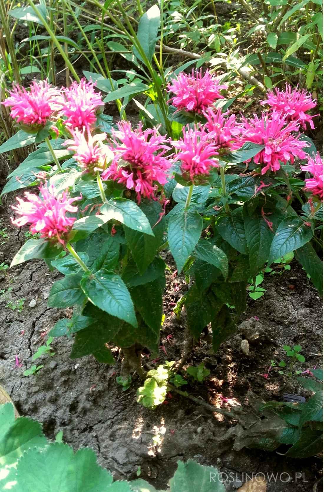 pysznogłówka pink roślina miododajna