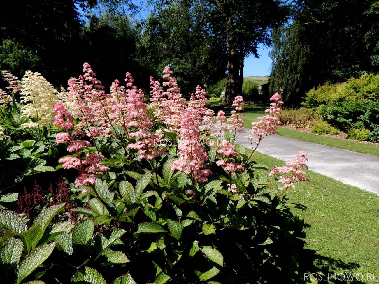 Rodgrsja Henrici - bylina kwitnąca do słońca, cienia i półcienia