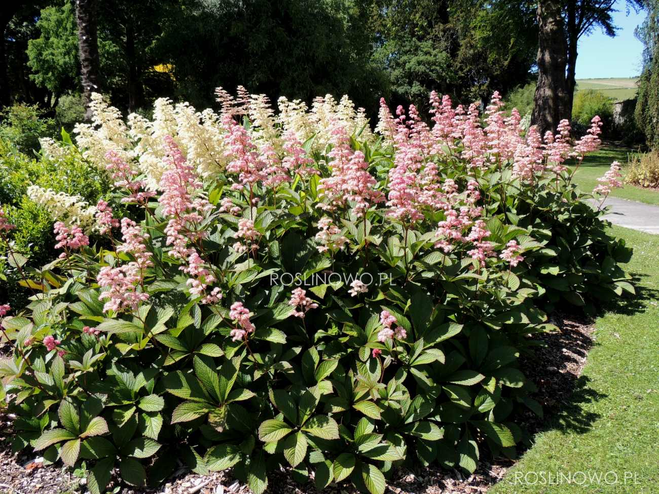 Rodgersja Henrici - wieloletnia roślina dekoracyjna o pachnących kwiatach