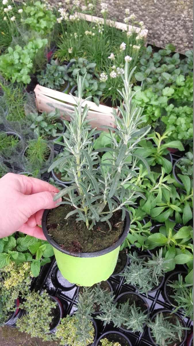 rozmaryn - lecznicza i przyprawowa roslina wieloletnia na stanowiska suche i słoneczne