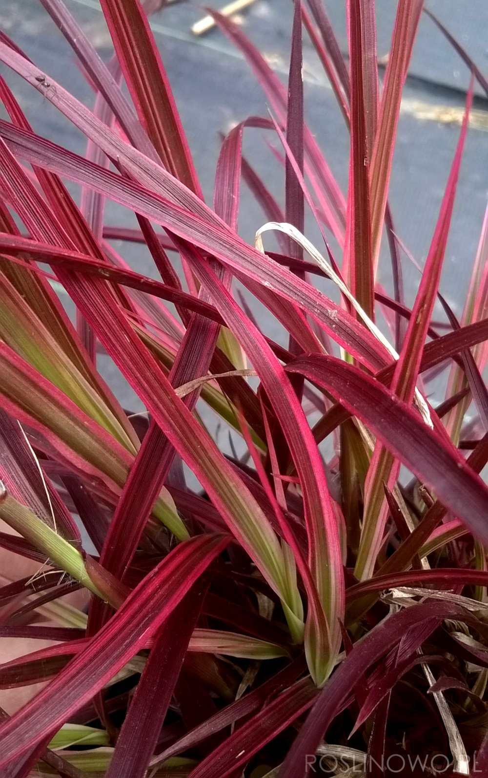 Czerwono-bordowe liście rozplenicy Fireworks (pennisetum)