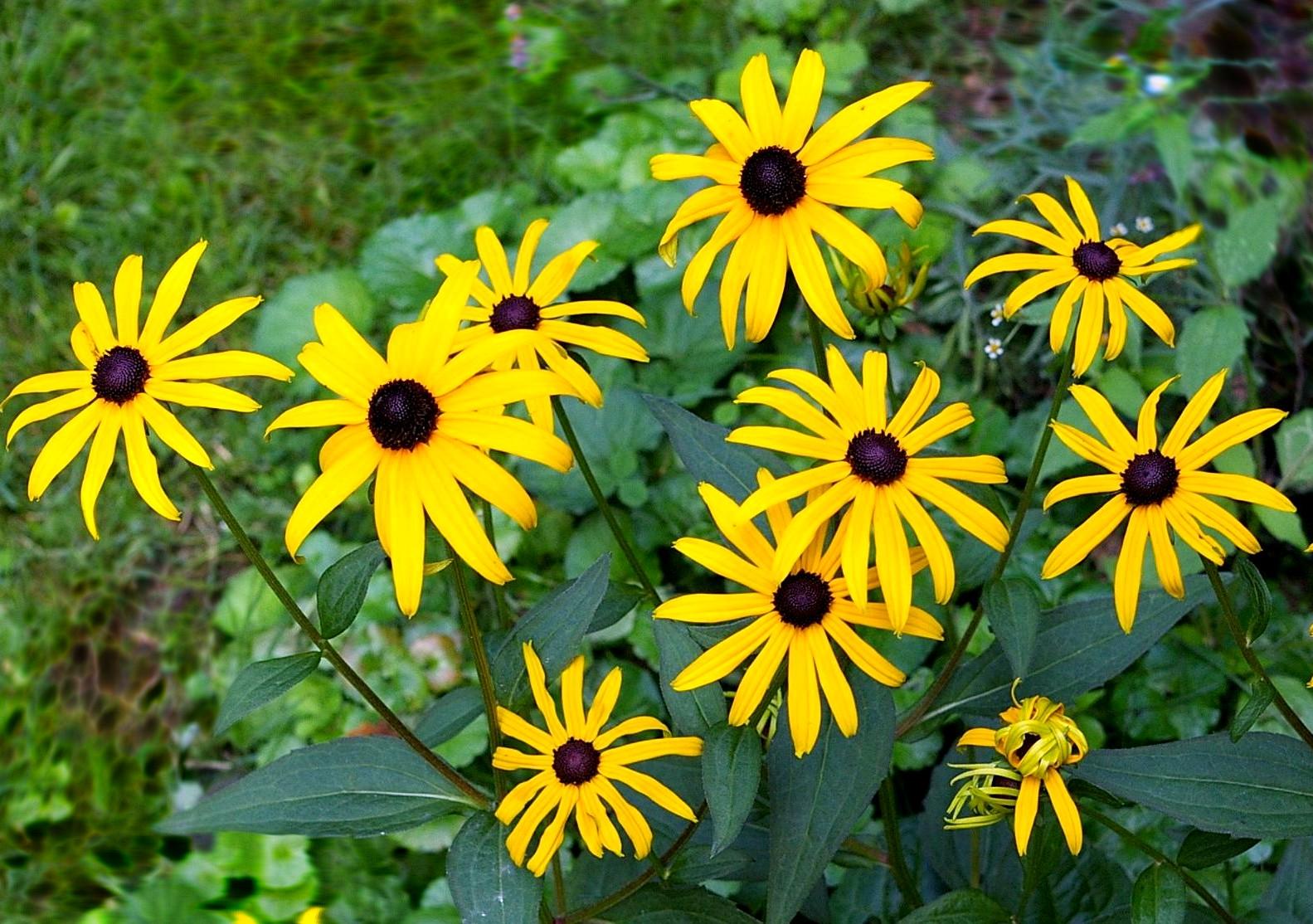 Rudbekia Goldstrum - wieloletnia roślina kwiatowa na stanowiska słoneczne