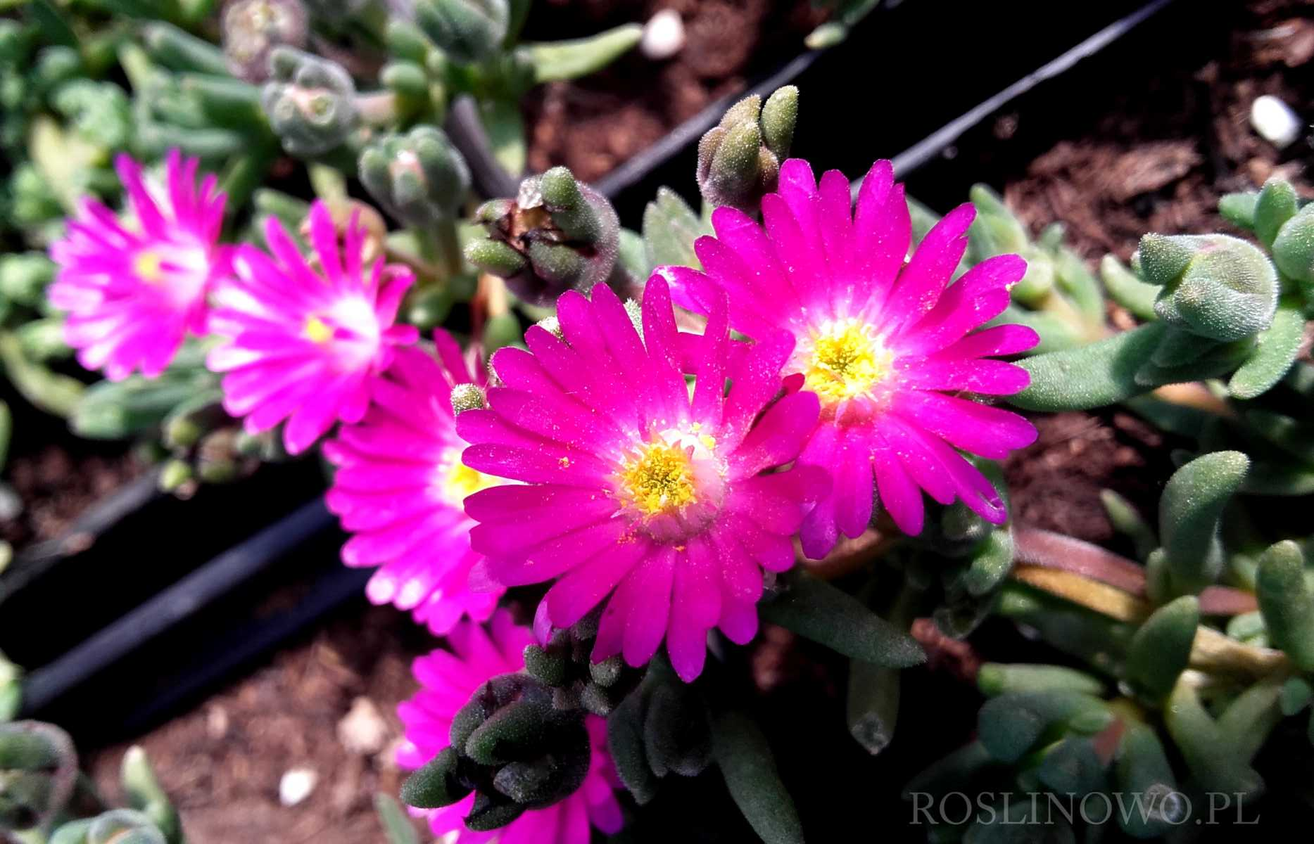 Słonecznica 'Jewel of Desert Opal' Delosperma