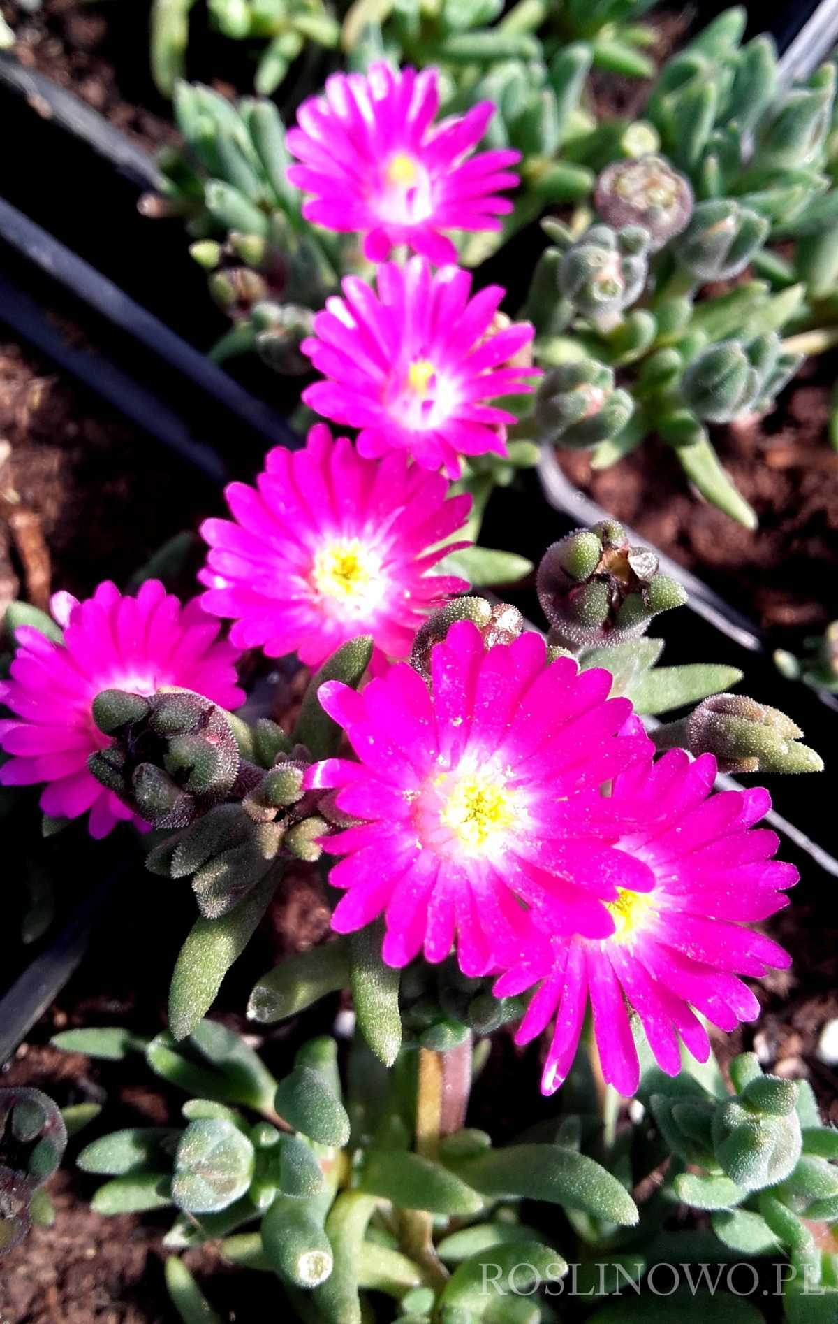 Słonecznica Jewel of Desert Opal