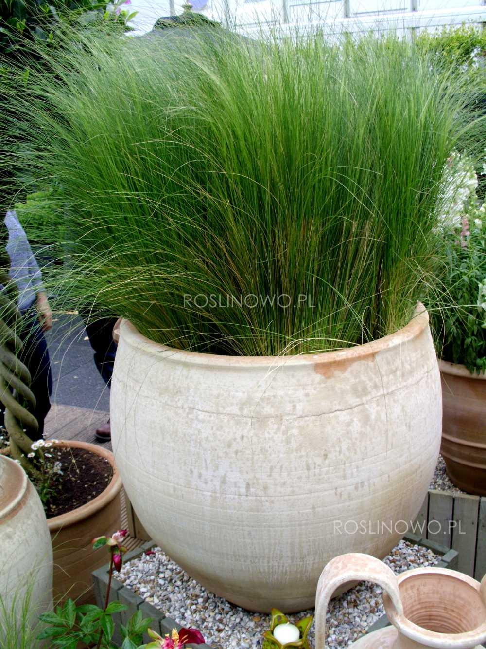 Sporobol różnołuskowy - bylina trawiasta